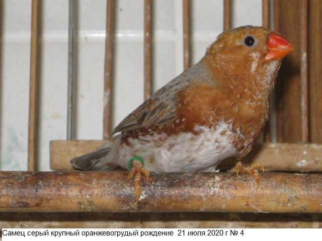 Продам: Самцы зебровой амадины оранжевая мутация