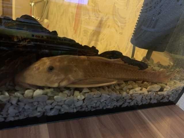 Отдам даром: Сом аквариумный 30 см