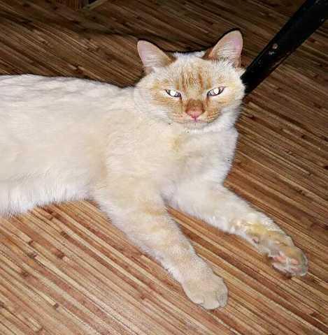 Отдам даром: Тайский котик с голубыми глазами