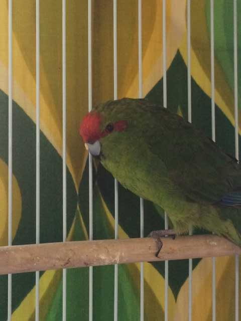 Продам: Новозеландский попугай - какарик