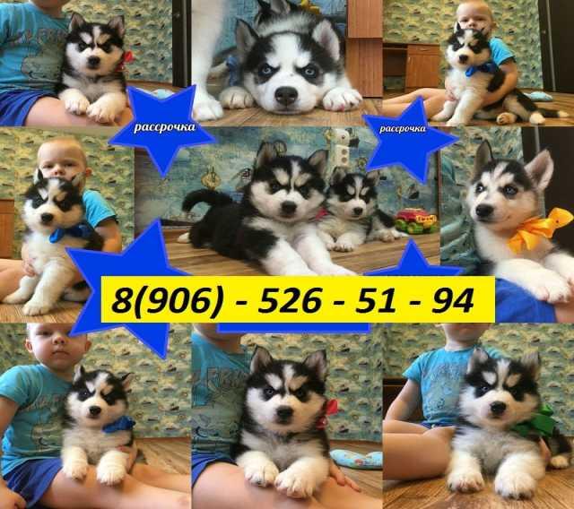 Продам: Красивые щенята сибирские хаски