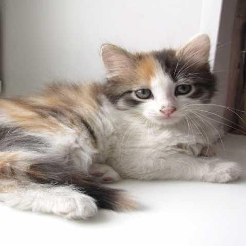 Отдам даром: Кошечка трехцветная, пушистая