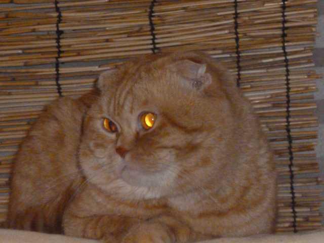 Продам: Шотландские породные котята плюшевые кор