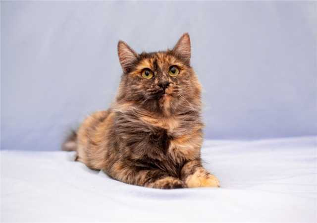 Отдам даром: Красивая, пушистая кошка Маша