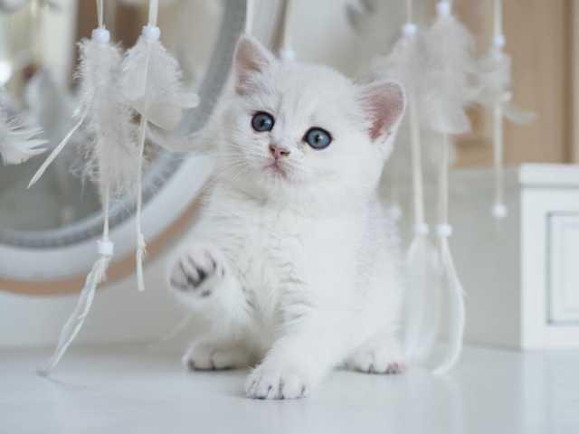 Продам: Британский котёнок Zinzi
