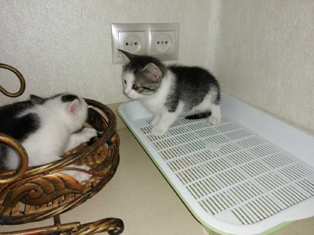 Отдам даром: Котята Лексус (Мальчик) и Чёли (девочка)