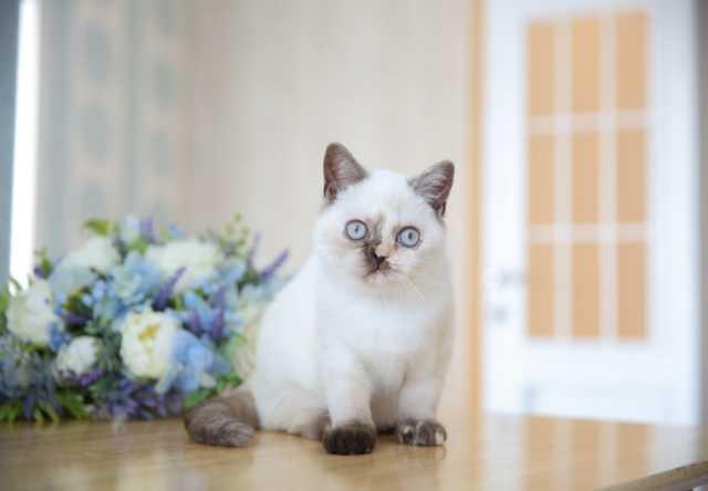 Продам: Британский котёнок Te-Fiti