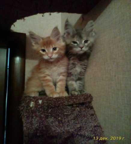 Продам: Мейн Кун котята