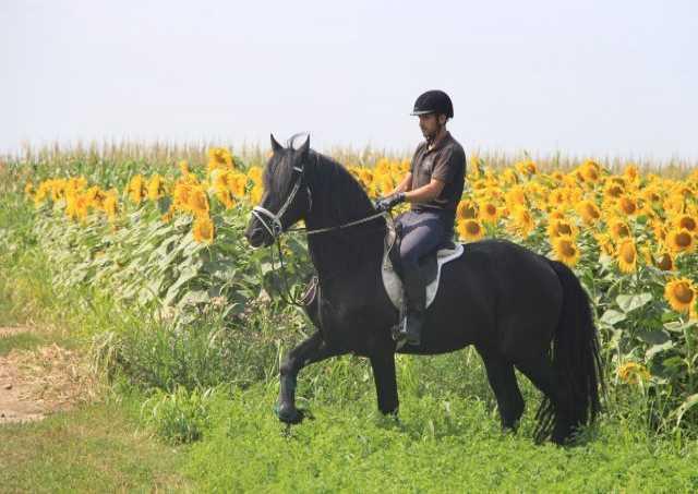 Продам: Продажа фризских лошадей