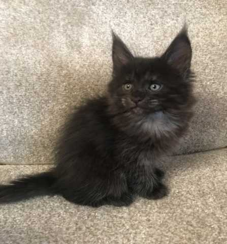 Продам: Котята Мейн кун