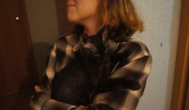 Продам: котёнок породистого корниш-рекса