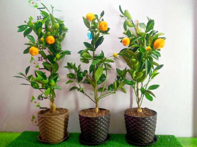 Продам: живое мандариновое дерево на Новый Год