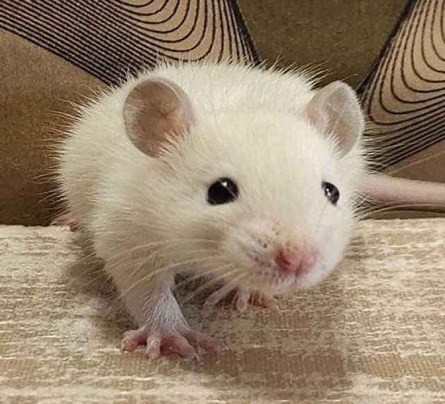 Продам: Крысята