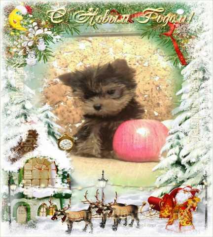 Продам: Йоркширского терьера щенки с доставкой