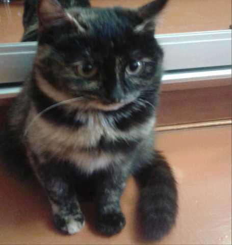 Отдам даром: Котенок трехцветный, девочка