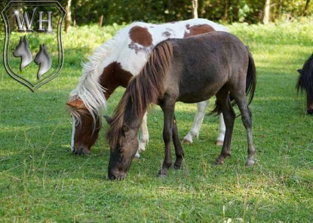 Продам: Шетлендский пони. Кобыла
