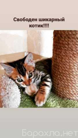 Продам: Шикарный бенгальский котенок