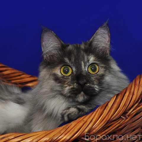 Отдам даром: Лесенька – шикарная кошка ищет дом
