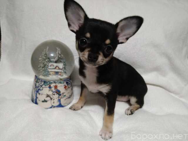 Продам: щенки чихуахуа