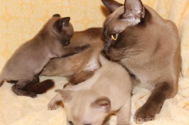 Продам: Европейские Бурмы - котята