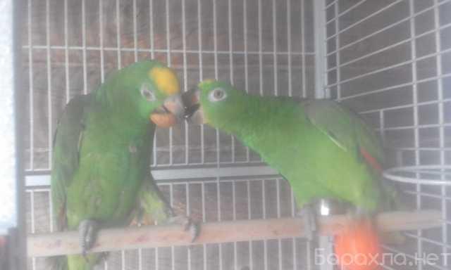 Продам: Амазоны птенцы говорящие выкормыши от за