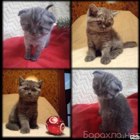 Продам: Чистопородные шотландские котята