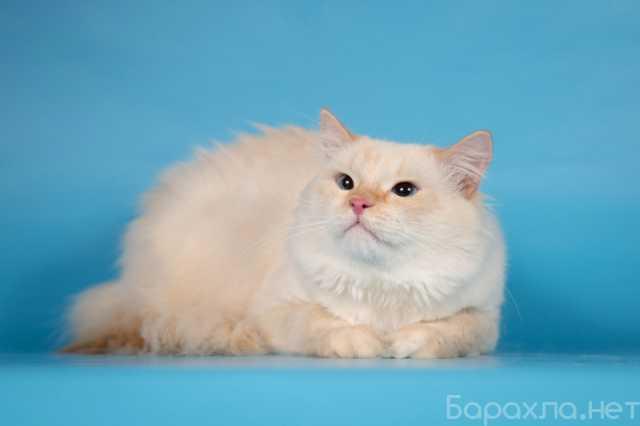 Отдам даром: Огромный кот - ласковый котёнок Ронни