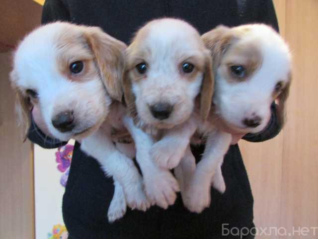 Продам: Продам щенков русского спаниеля