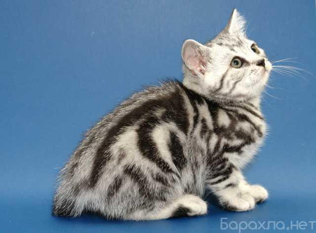 Продам: британских котят черный мрамор, серебро
