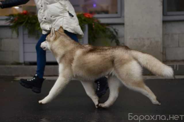 Продам: Продаются подрощенные щенки Сибирский (П