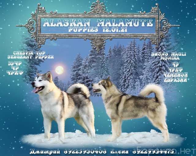 Продам: Щенки Аляскинского Маламута