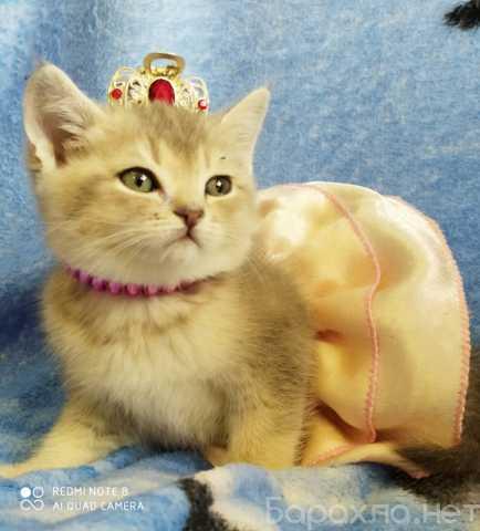 Продам: Котёнка шиншиллу голубое золото