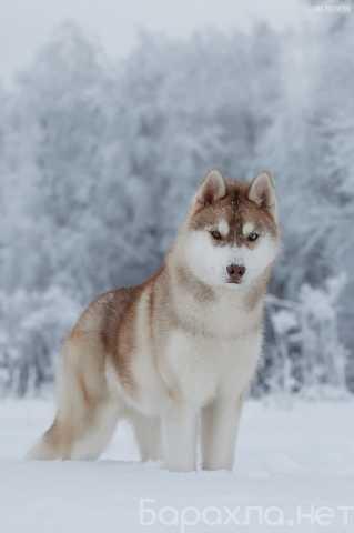 Продам: Продаются подрощенные щенки Сибирский Ха