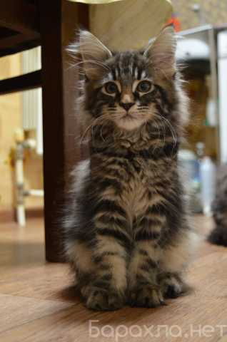 Продам: котята мейн-кун из питомника