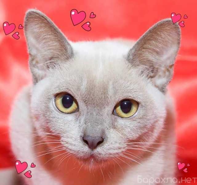 Продам: котят бурманской породы от титулованных