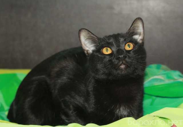 Отдам даром: Блестящий чёрный Граф. Котик в добрые ру