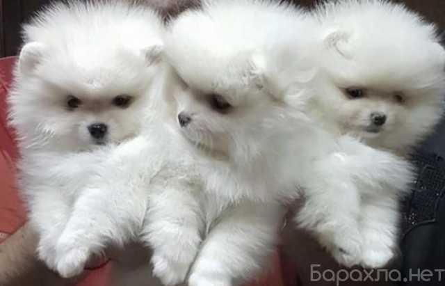 Продам: Белые померашки шпицы мишки