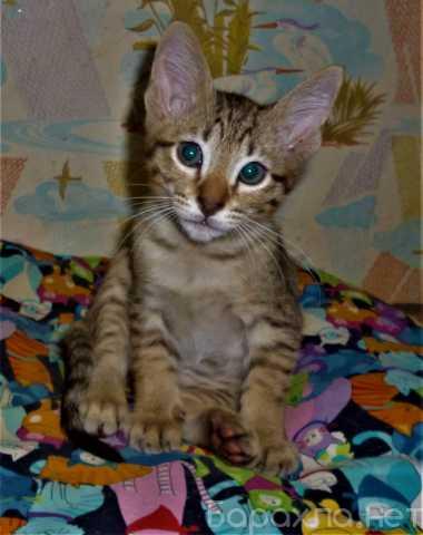 Продам: Ориентальные котята
