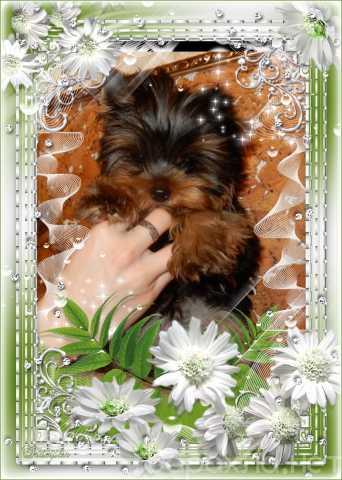 Продам: Йоркширского терьера щенки, с доставкой