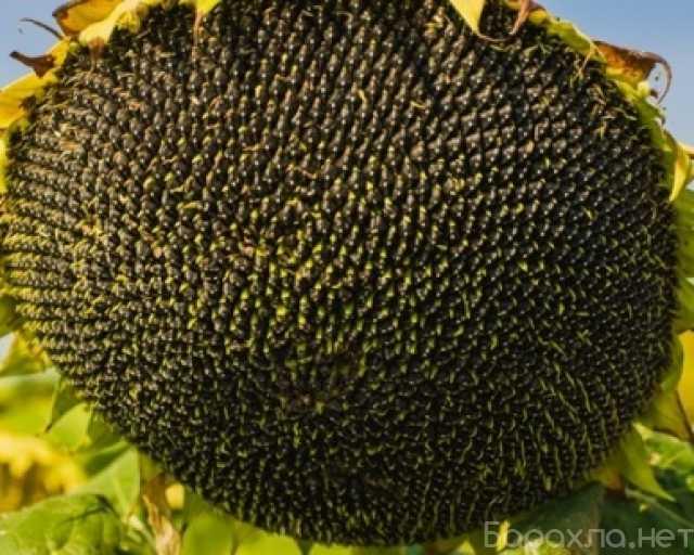 Продам: Семена подсолнечника сорт Азовский