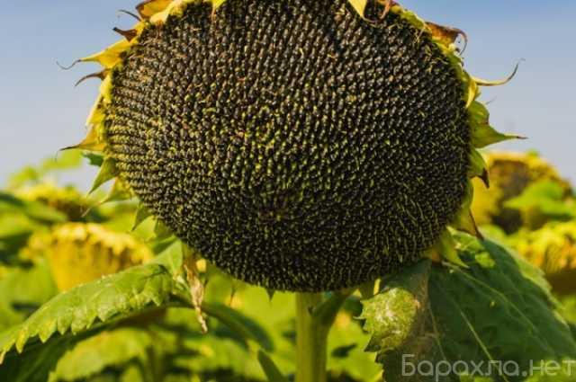 Продам: Семена подсолнечника гибрид СФ-7, Самура