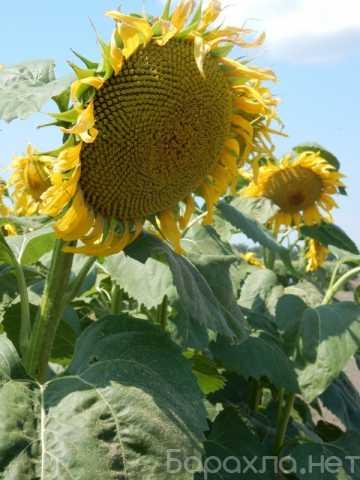 Продам: Семена сортов подсолнечника