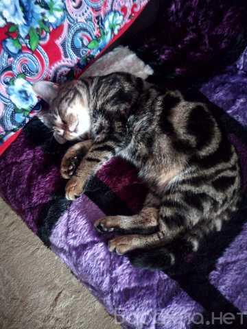 Отдам даром: Бенгальский котенок