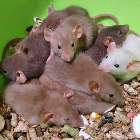 Продам: крысу! Питомник крысята Дамбо в Москве