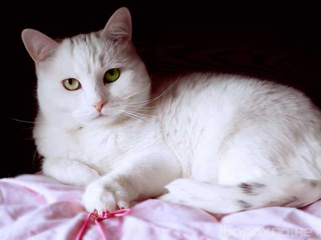 Отдам даром: Белоснежная булочка – кошка Люси