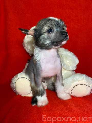 Продам: китайская хохлатая собака