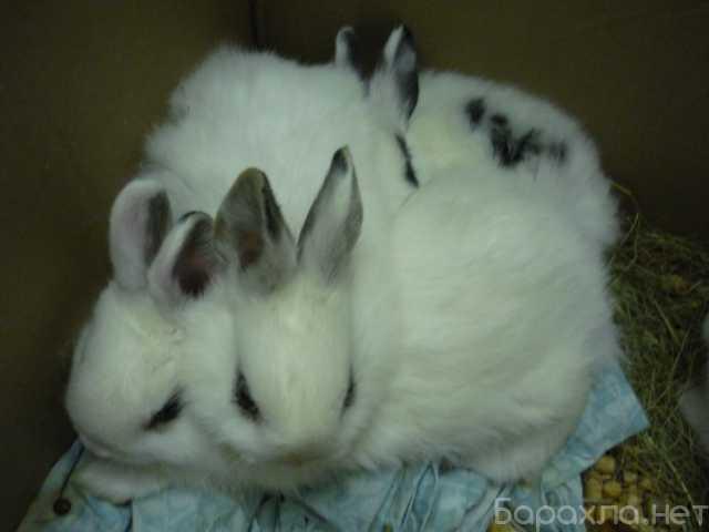 Продам: Крольчата Французского Хотота