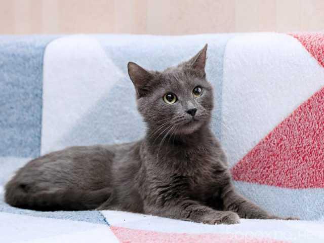 Отдам даром: Нежная Бася, кошка голубого окраса, 3 го