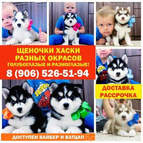 Продам: продажа щеночков хасят