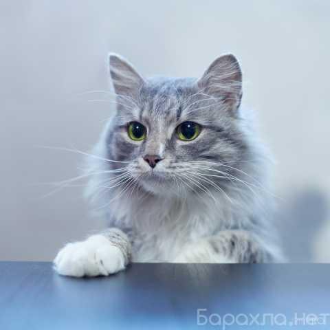 Отдам даром: Котик Пуджиг 1,5 года